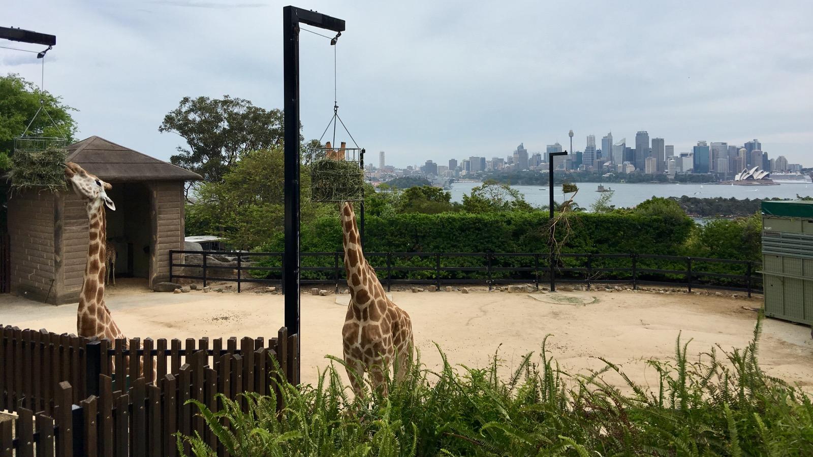 taronga-zoo-giraffe