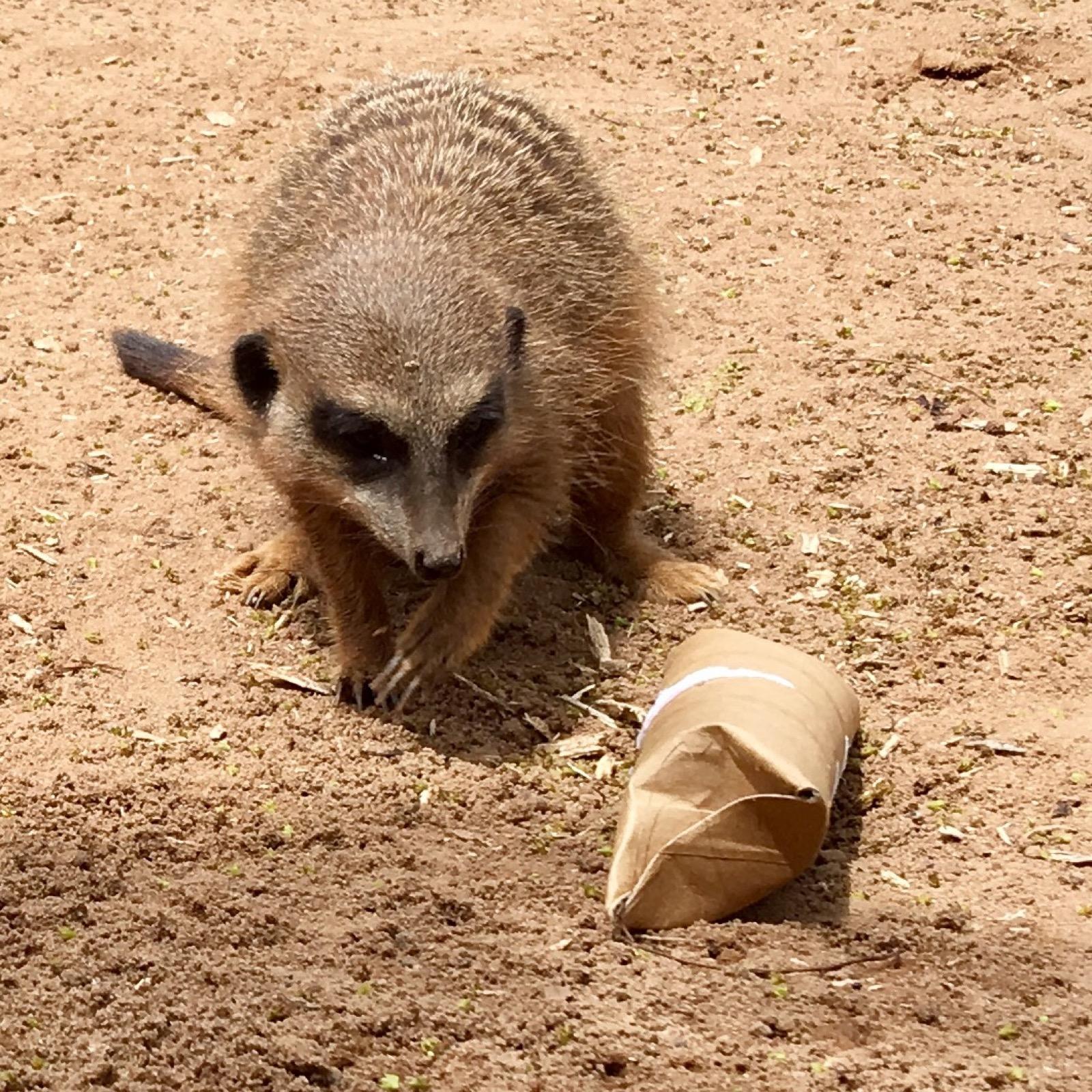 taronga-zoo-meerkat