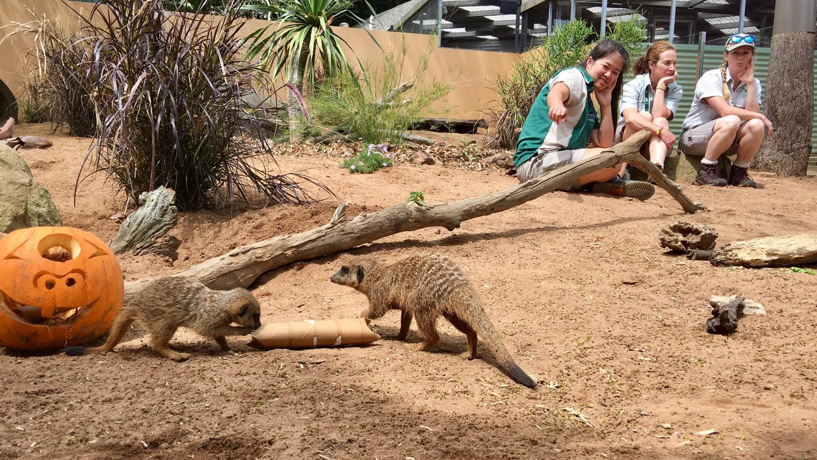 taronga-zoo-meerkats